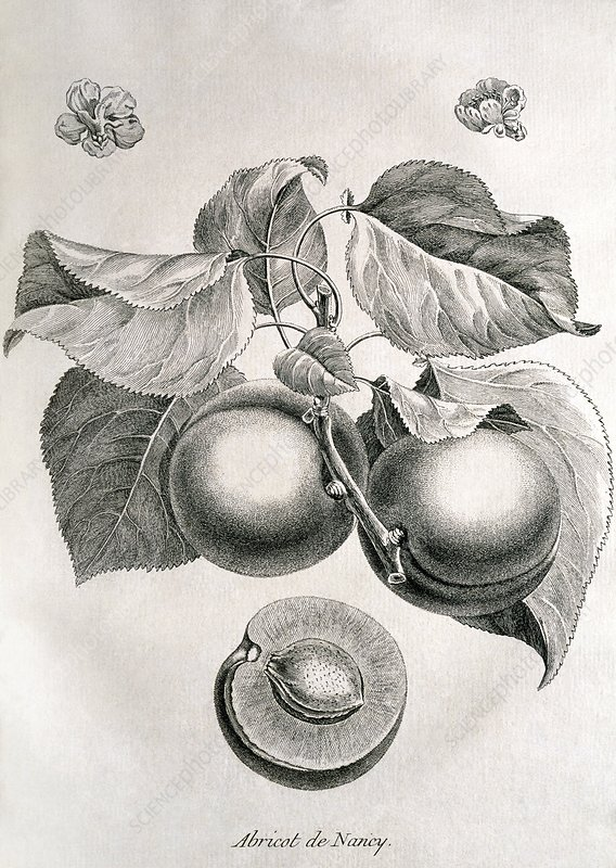 Apricots, historical artwork
