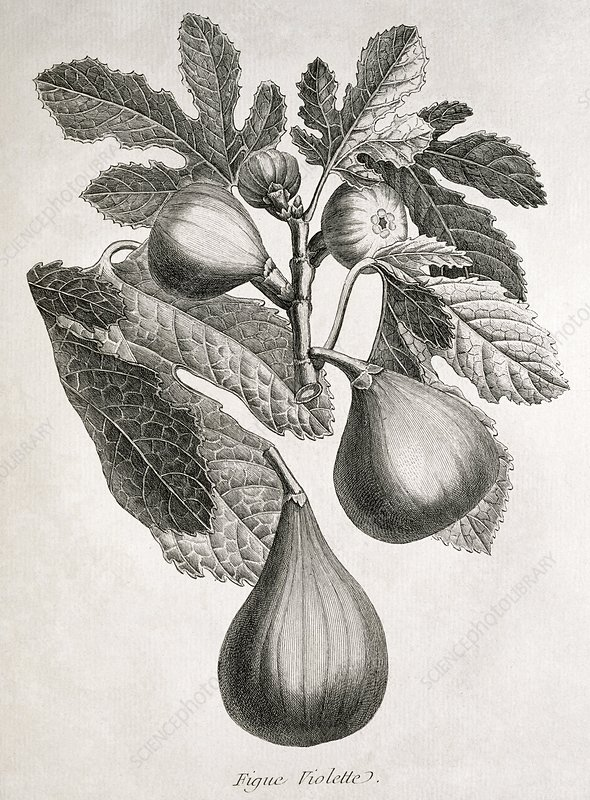 Figs, historical artwork
