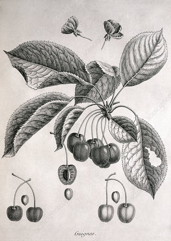 Cherries, historical artwork