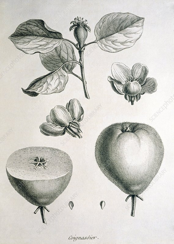 Quince, historical artwork