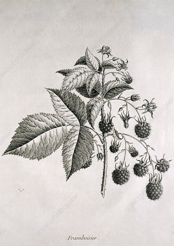 Raspberries, historical artwork