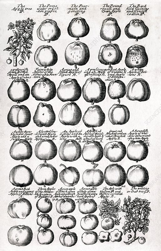 Apples, 17th century herbal medicine