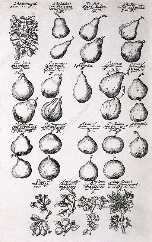 Pears, 17th century herbal medicine