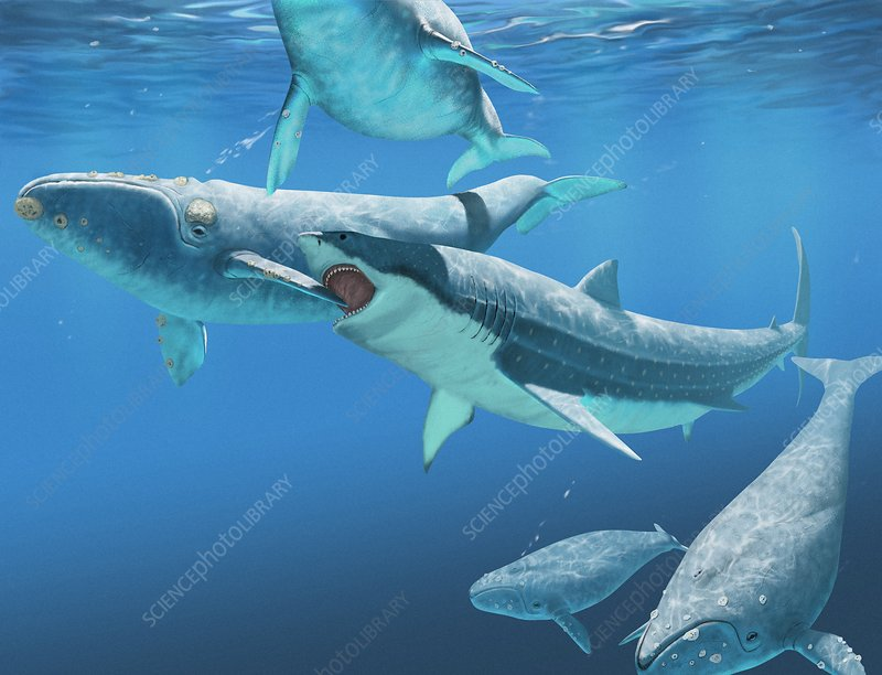 Megalodon Shark Attacking A Whale