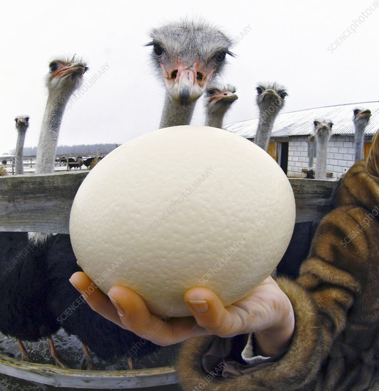 Egg at an ostrich farm