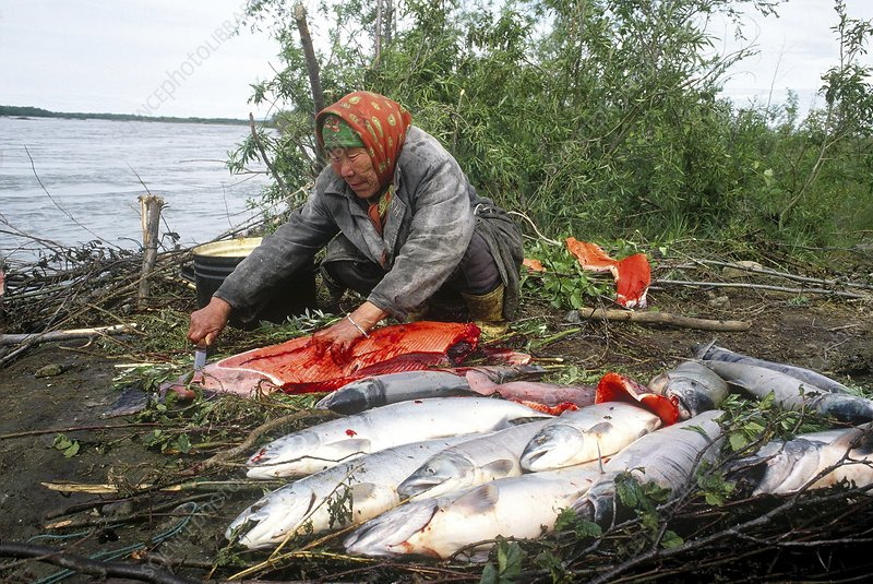 Dressing salmon, Kamchatka Peninsula