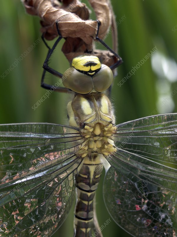 Male southern hawker dragonfly