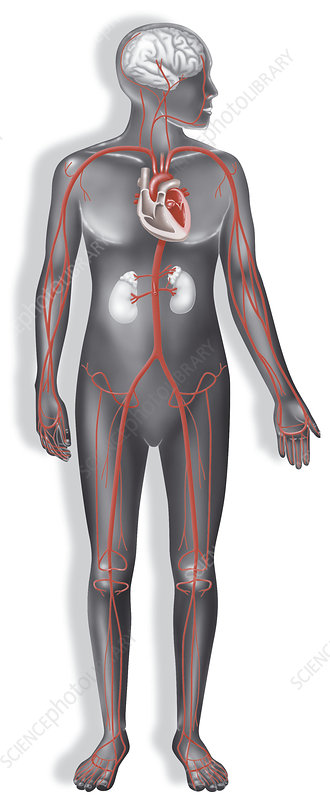 Blood circulation, illustration