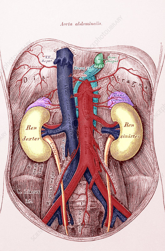 Kidney, drawing