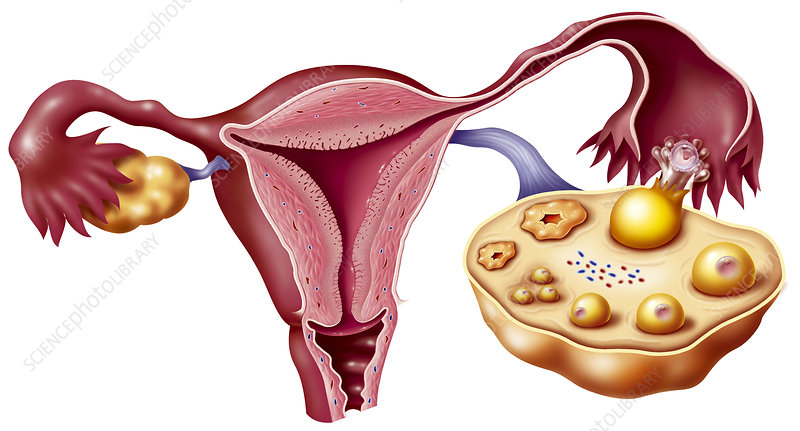 Ovarian cycle,artwork