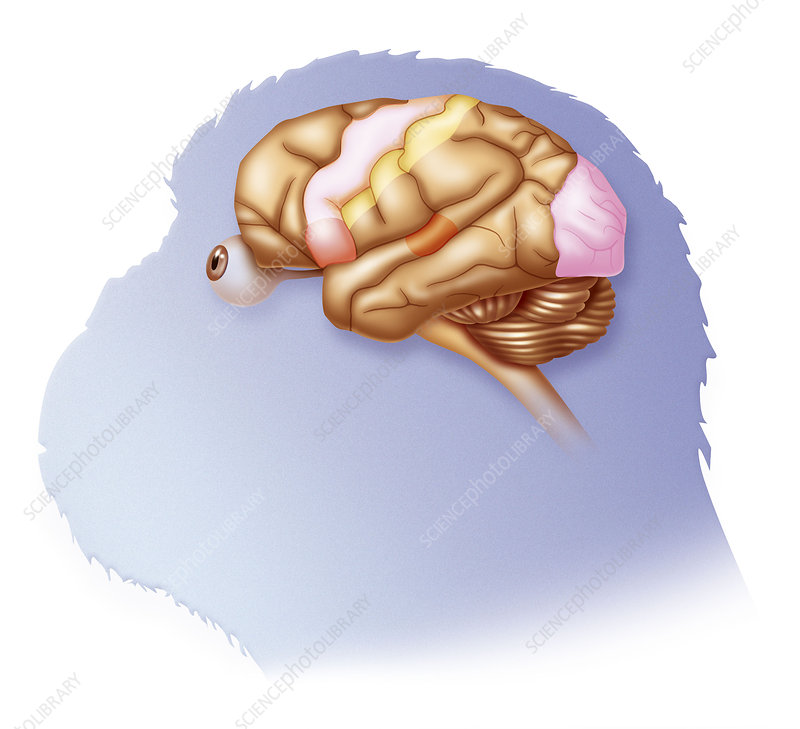 Chimpanzee brain, drawing