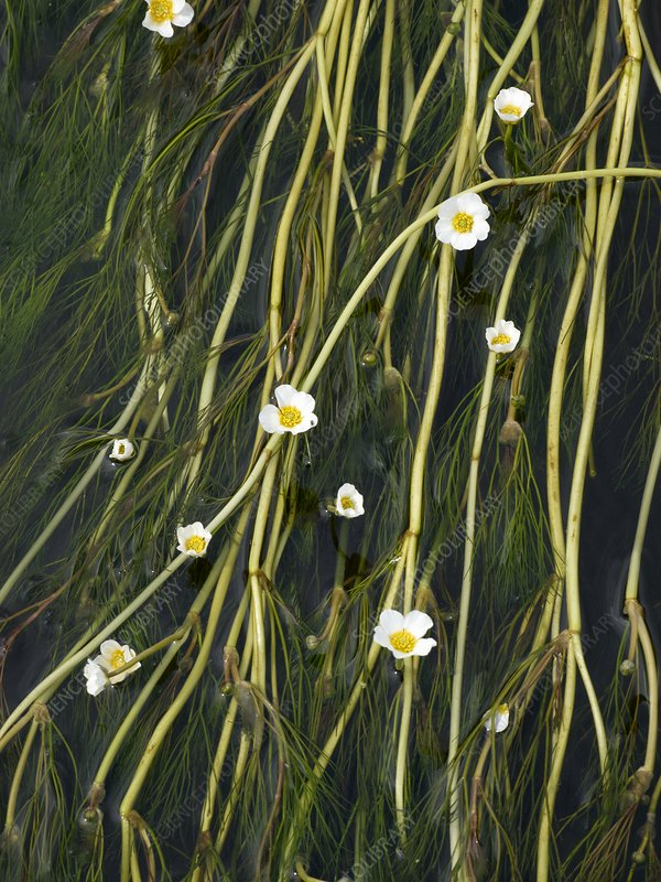 Water Crowfoot (Ranunculus species)