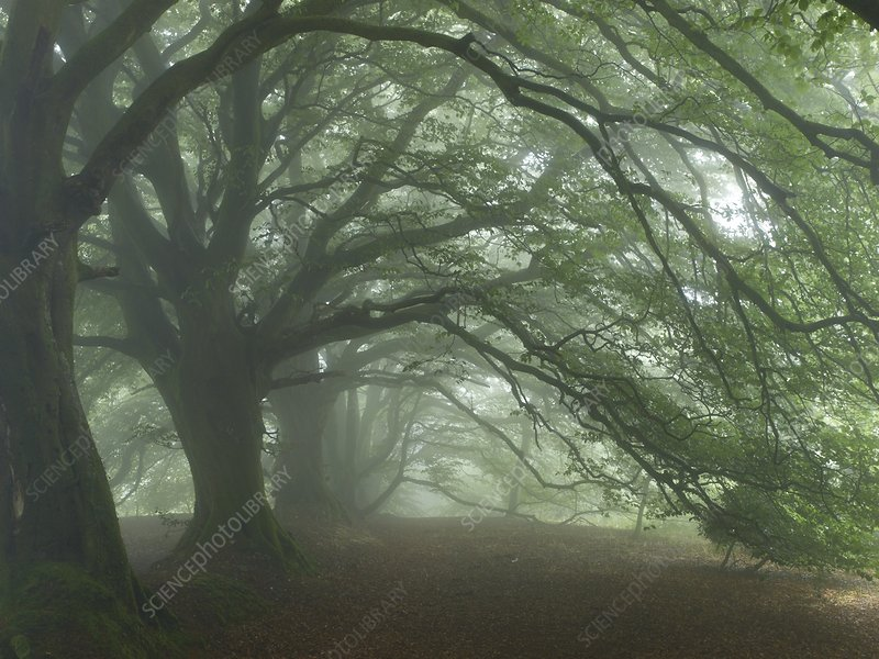 Ancient Beech woodland