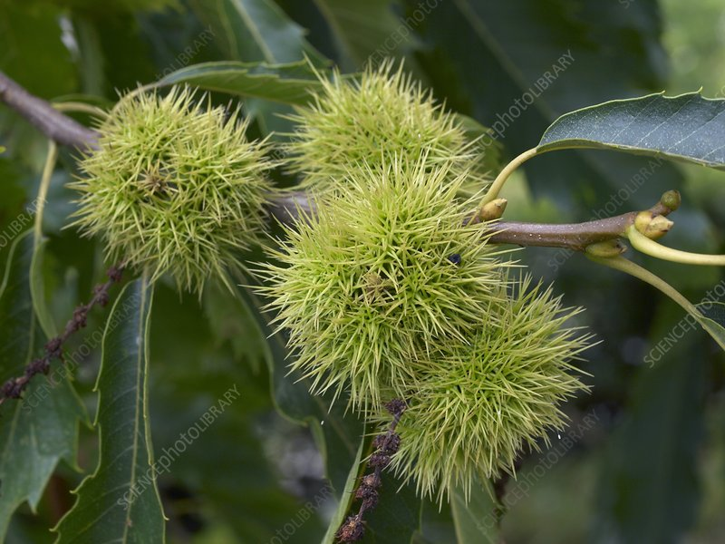 Sweet Chestnut (Castanea sativa)