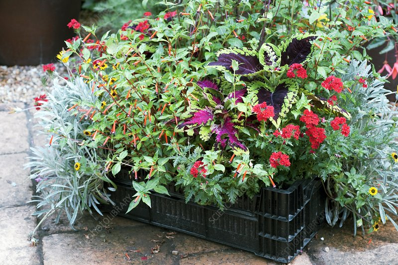 Mixed container planting