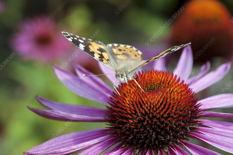 Butterfly on Echinacea purpurea