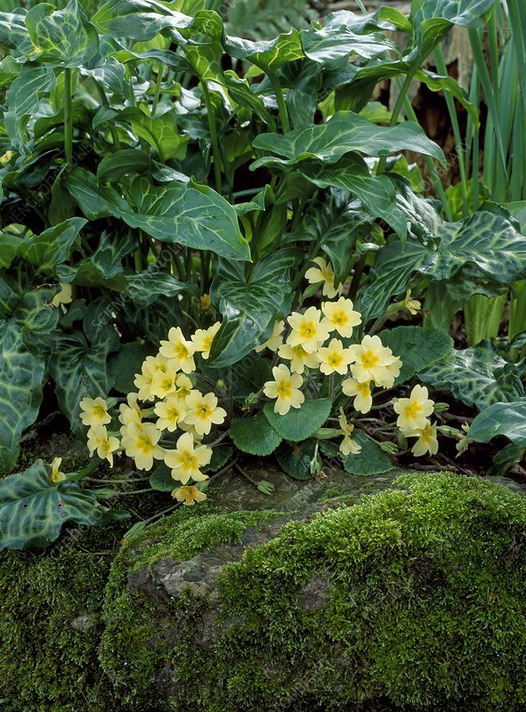 Primroses (Primula vulgaris) in flower