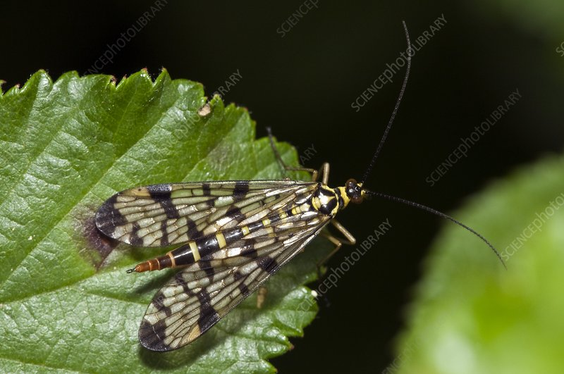 A Scorpion Fly