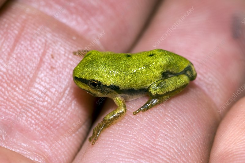 A Juvenile Tree Frog