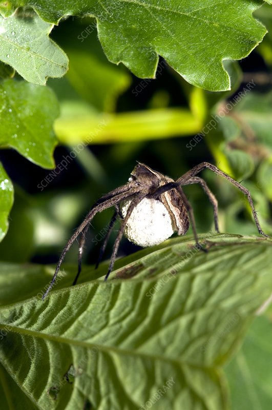 A female Wolf spider with egg