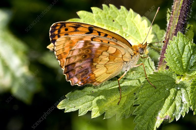 Marbled Fritillary Butterfly