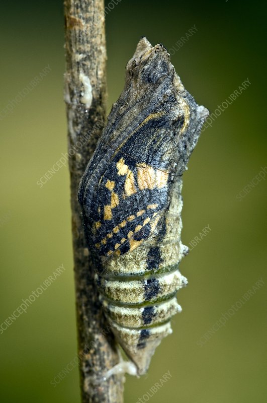 Common Swallowtail Chrysalis
