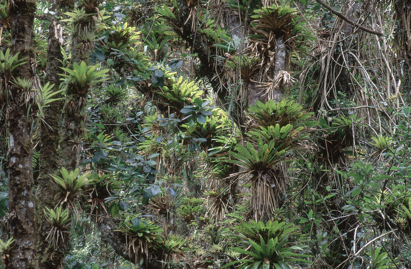 Bromeliads and other Epiphytes