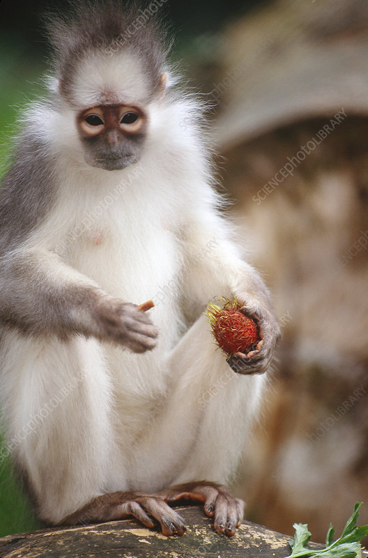 Mitered Leaf Monkey