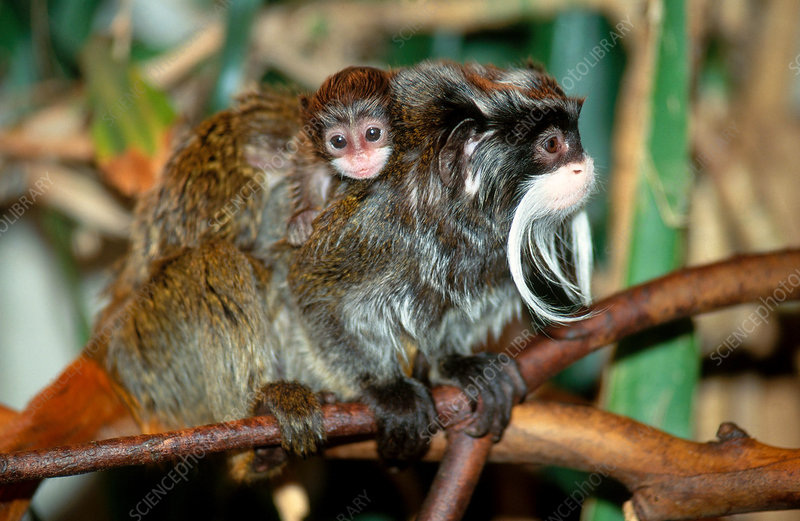 Emperor Tamarin with Young