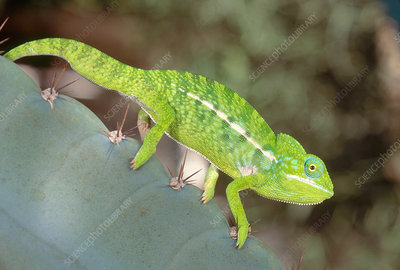 Jewel Chameleon