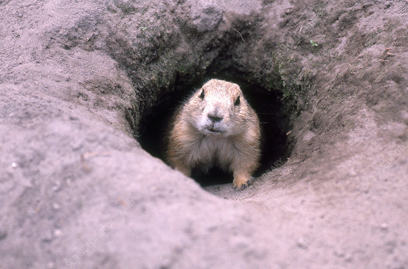 Prairie Dog in burrow