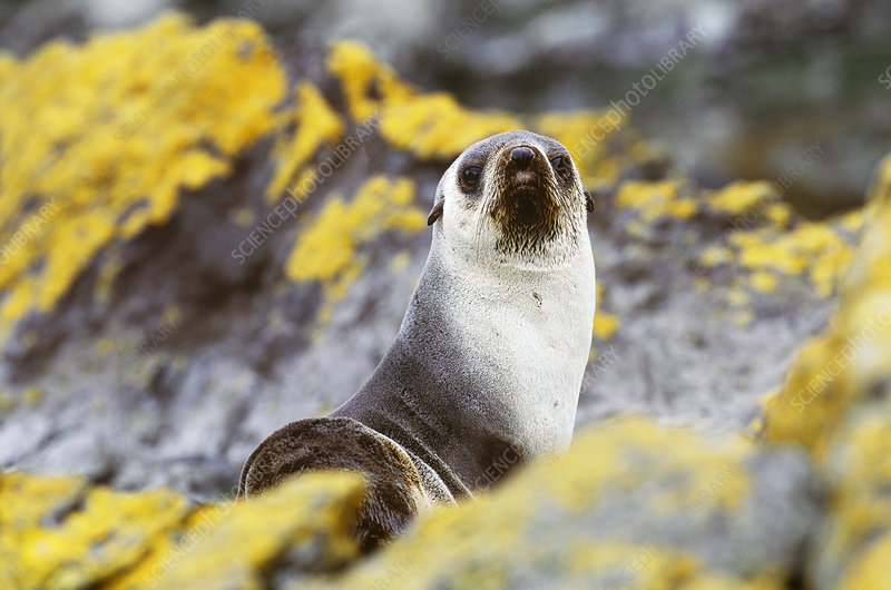 Antarctic Fur Seal