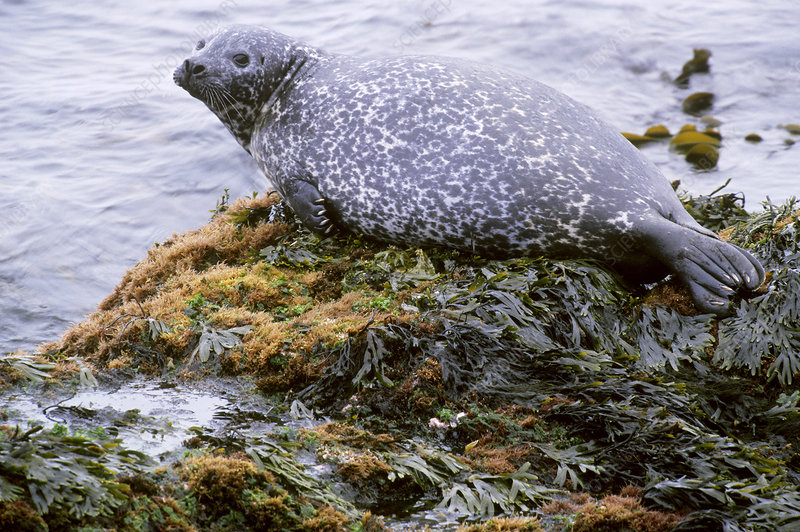 Harbor Seal in Iceland