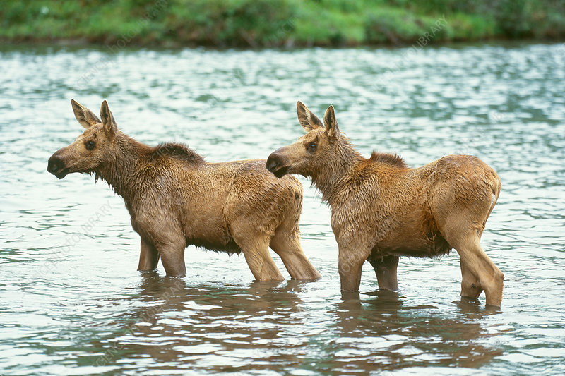 Moose (Alces alces) pair wading