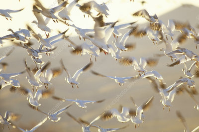 Snow Geese (Chen caerulescens) in flight