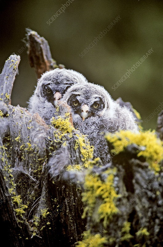Great Gray Owl owlets