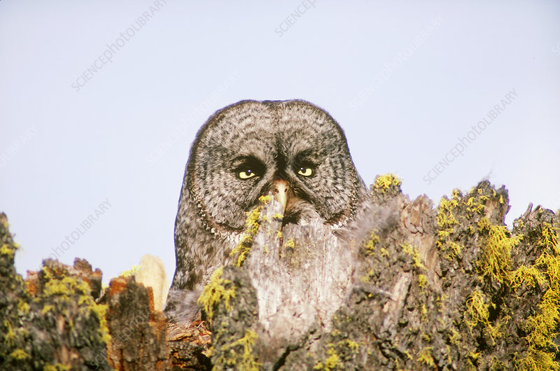 Great Gray Owl at nest site