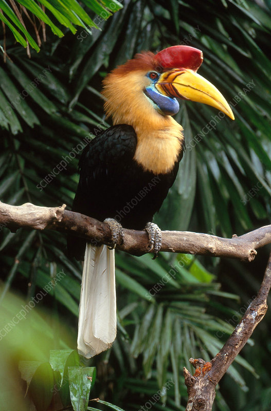 Red-Knobbed Hornbill