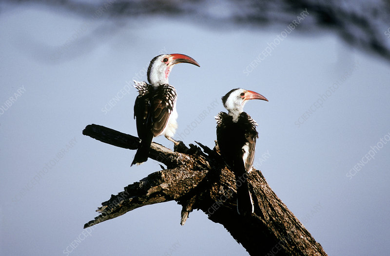 Red-billed Hornbills