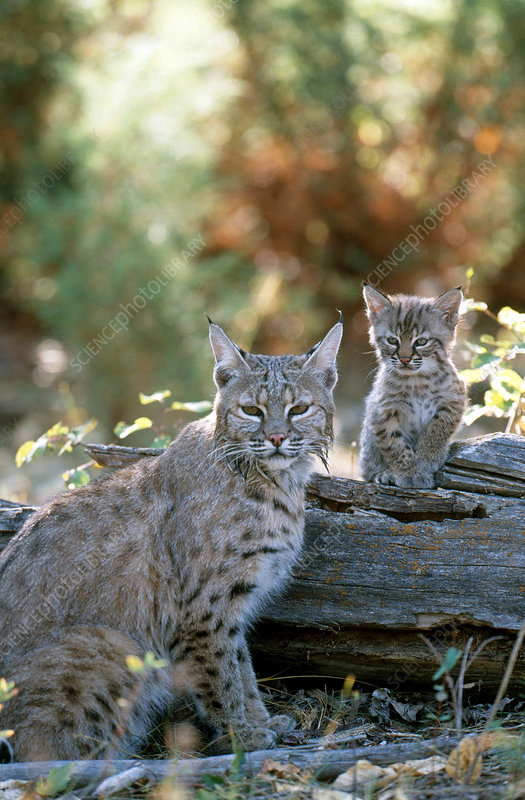 Bobcat adult and young (Lynx rufus)