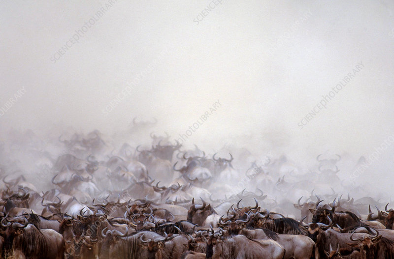 Wildebeest herd migrating