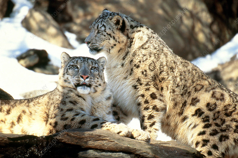 Snow Leopards (Panthera uncia)