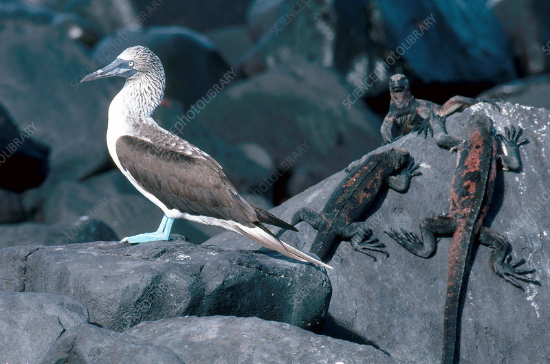 Blue-Footed Booby and Iguanas