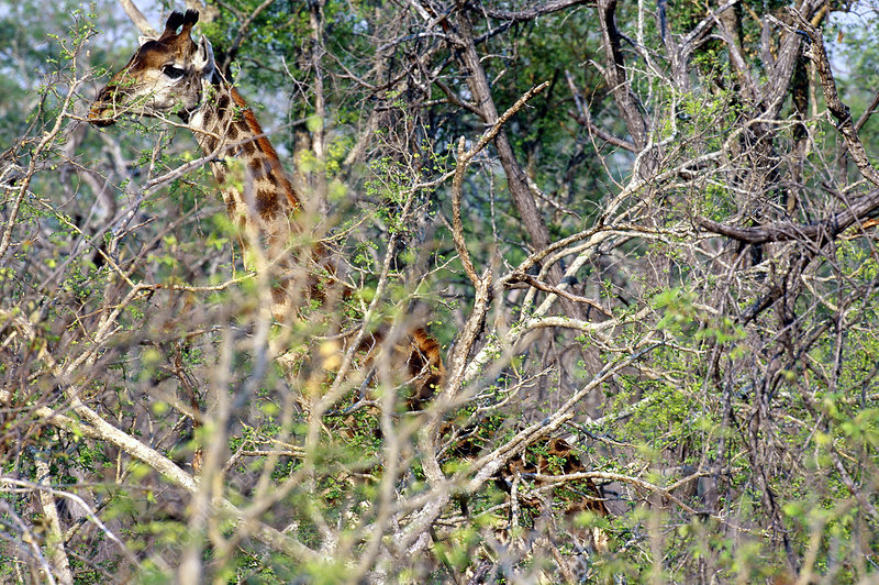 South African Giraffe, Phinda Preserve