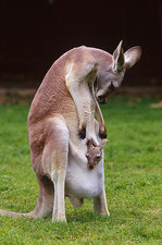 Red kangaroo mother and young, Australia