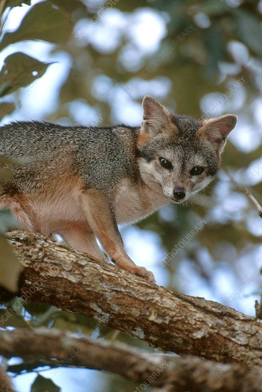 Gray Fox in a Tree