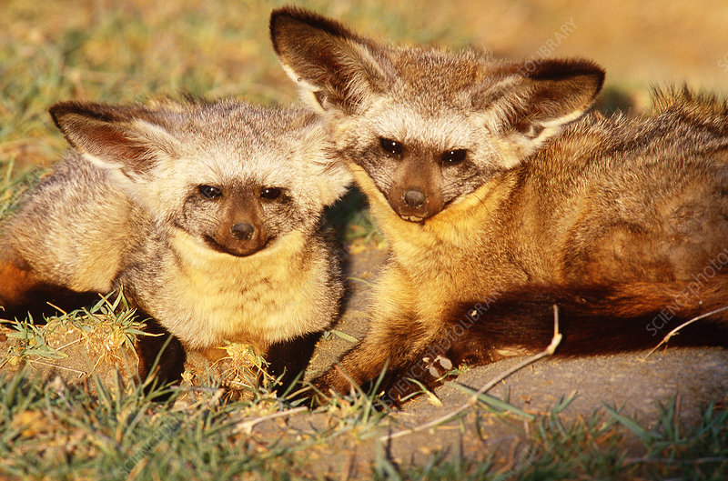 Bat-eared foxes, Tanzania