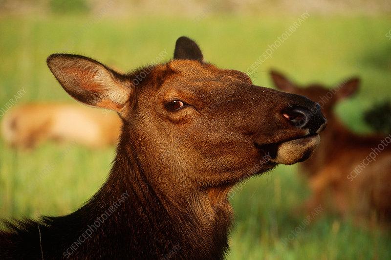 Elk or Wapiti