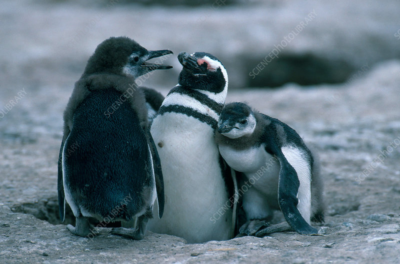 Magellanic Penguin with young