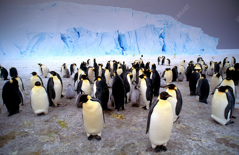 Emperor Penguin adults with young